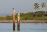 Great Crested Tern / Bergiusterne