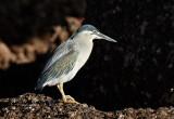 Striated Heron / Mangrovehejre, CR6F6570, 24-12-2013.jpg