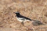 White-browed Wagtail / Indisk Vipstjert