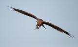 Black Kite / Sort Glente, CR6F3398, 14-01-2014.jpg