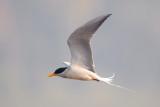Black-bellied Tern Sortbuget Terne