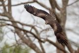 Black Kite / Sort Glente, CR6F7505, 22-01-2014.jpg