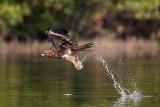 Black Kite / Sort Glente, CR6F8644, 24-01-2014.jpg