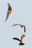Black Kite / Sort Glente, CR6F8738, 24-01-2014.jpg