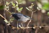 Striated Heron / Mangrovehejre, CR6F8241, 24-01-2014.jpg