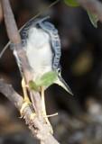 Striated Heron / Mangrovehejre, CR6F8277, 24-01-2014.jpg