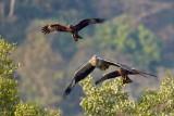 Black Kite / Sort Glente / White-bellied Sea Eagle  Hvidbrystet Havørn, CR6F0097, 25-01-2014.jpg