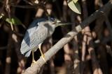 Striated Heron / Mangrovehejre, CR6F9638, 25-01-2014.jpg