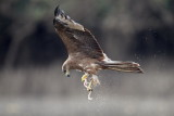 Black Kite / Sort Glente, CR6F6377, 21-01-2014.jpg