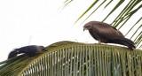 Black Kite / Sort Glente / House Crow / Huskrage, CR6F1633, 31-01-2014.jpg