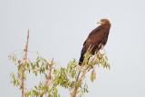 Greater Spotted Eagle  / Stor Skrigeørn