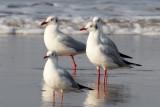 Brown-headed Gull / Brunhovedet Måge