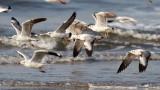 Common Black-headed Gull / Hættemåge
