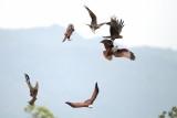 Black Kite / Sort Glente / Brahminy Kite / Brahminglente, CR6F7209, 22-01-2014.jpg