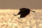 Black Kite Sort Glente, 02-01-15, CR6F4705.jpg