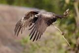 Black Kite Sort Glente, CR6F4130.jpg
