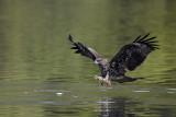 Black Kite Sort Glente, CR6F5978.jpg
