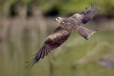 Black Kite / Sort Glente, 07-12-15, CR6F3840.jpg