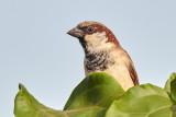 House Sparrow / Gråspurv