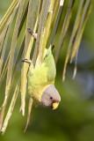Plum-headed Parakeet / Blommehovedet Ædelparakit, 12-01-17, CR6F4636.jpg