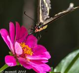 Swallowtail and Pink Zinnia