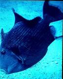 TrigerFish B.jpg