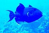 TrigerFish.jpg