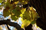 Leaf shadows on fall leaves, Ponca State Park - 11-13