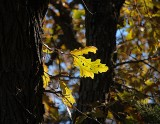 Oak leaves, Ponca State Park - 11-13