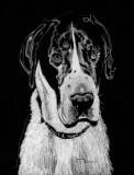 Otis, Great Dane - charcoal, 8 x 10