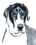 Otis, Great Dane - watercolor, 8 x 10