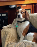 Augie the regal beagle