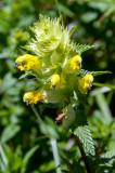 Galeopsis speciosa