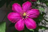 Clematilde rosado