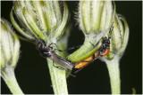 parende bladwespen - Tenthredae