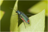 Roodtipbasterdweekschildkever -Malachius bipustulatus