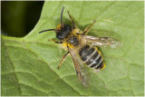 Grasbij - Andrena flavipes