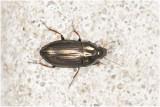 Loopkeversoort - Amara spec.