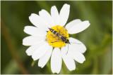 Halmwespensoort -  Cephidae