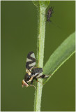 GALLERY Boorvliegen en Prachtvliegen -Tephritidae & Ulidiidae