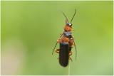 zwart Soldaatje - Cantharis pellucida