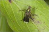 Slankpootvliegensoort - Poecilobothrus nobilitatus