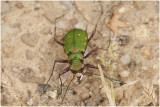 groene Zandloopkever - Cicindela campestris
