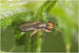 Slakkendodersoort - Limnia unguicornis