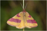 Zuringspanner - Lythria cruentaria - man - male