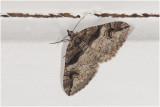 Berberisspanner - Pareulype berberata