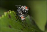 parende Dambordvliegen - Sarcophaga carnaria