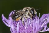 gewone Behangersbij - Megachile versicolor