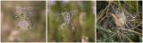 Tijgerspin - Argiope bruennichi