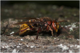 Hoornaar - Vespa crabro